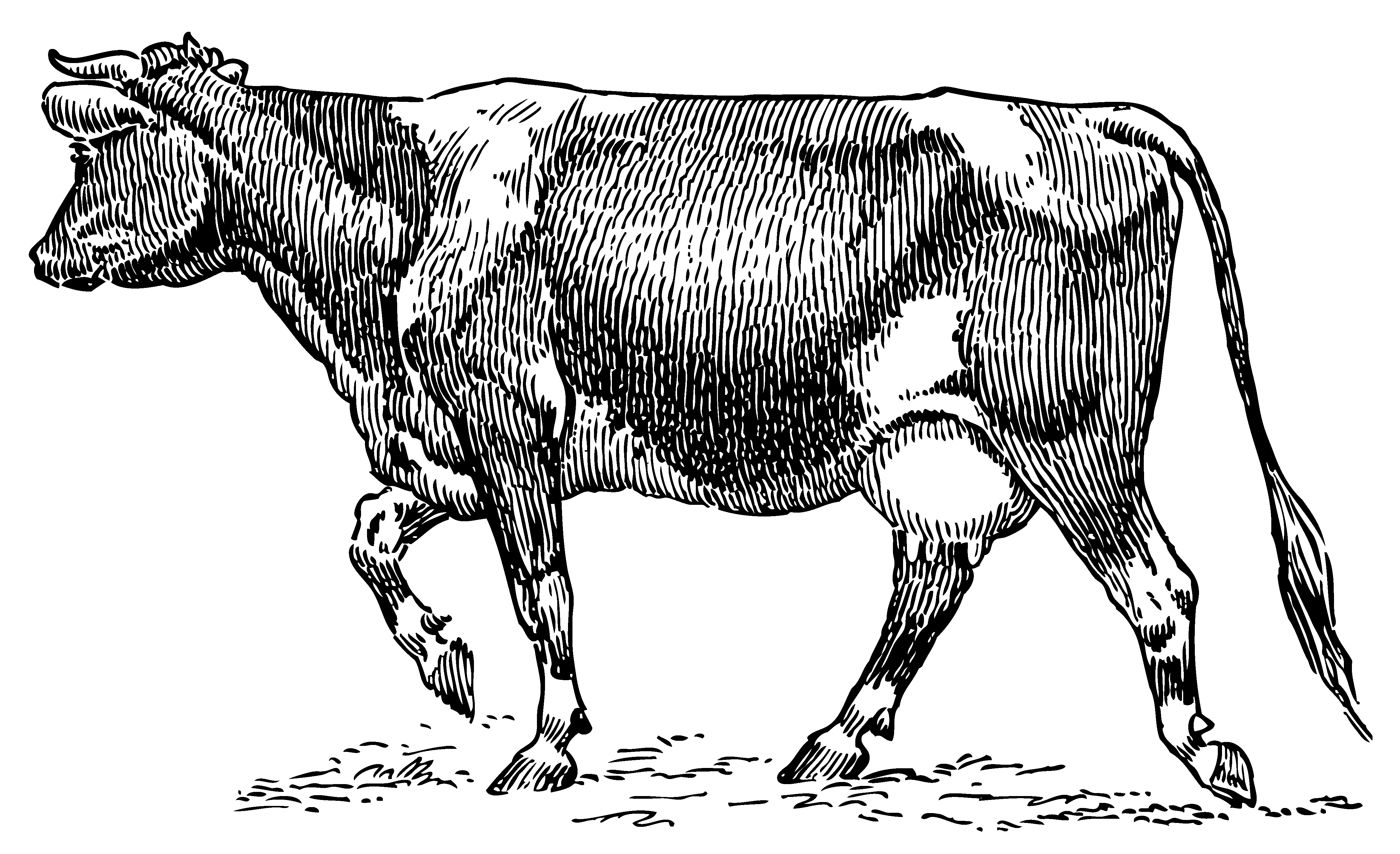 Vintage Cow Drawing At Paintingvalley