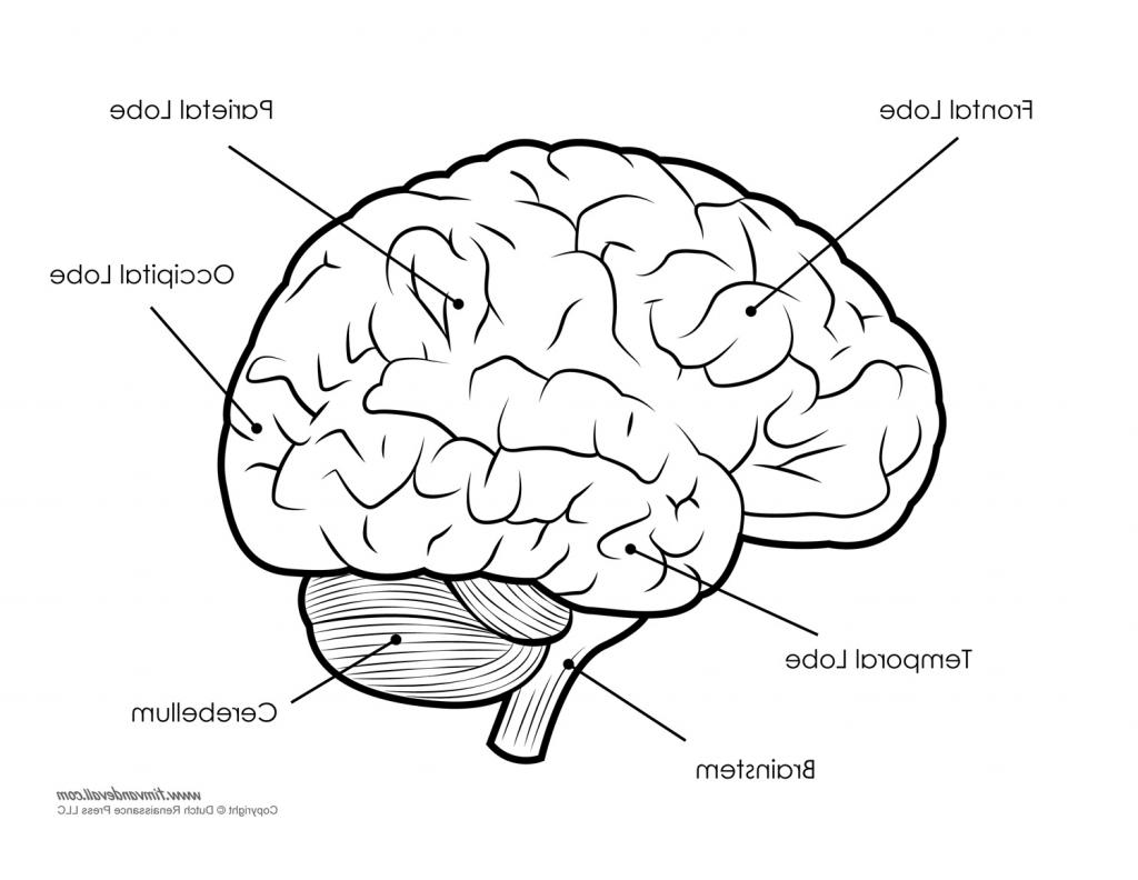 Brain Sketch Simple At Paintingvalley