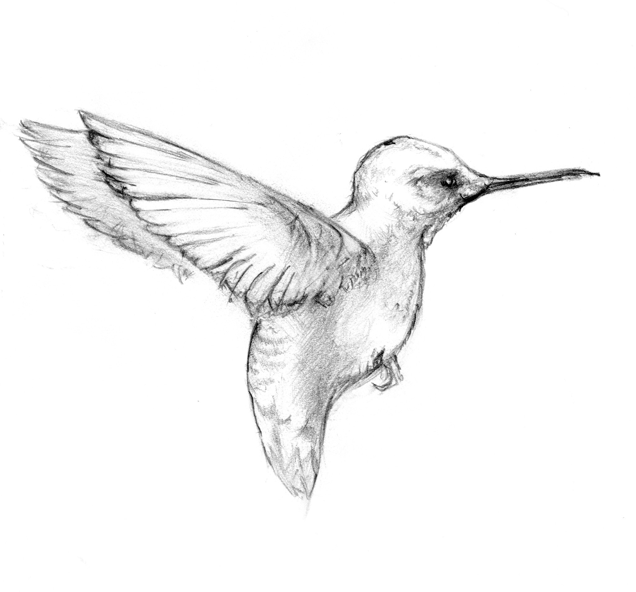 Hummingbird Sketch Images At Paintingvalley