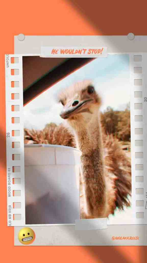 Photo of ostrich at a drive through safari ready to take food from feed bucket.