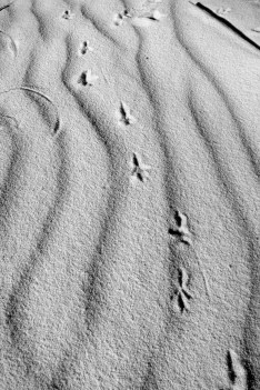 Animal tracks in the shifting sands