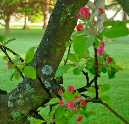 Apple blossoms marking time