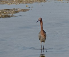 Reddish egret- known as the drunken sailor because of its stumbling gait when fishing