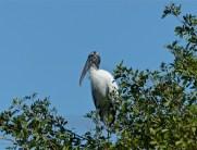 Wood stork, a favorite of mine.
