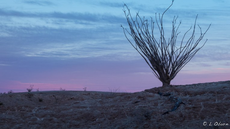 One of my favorite desert plants, the ocotillo, whether colorfully adorned or in winter dress.
