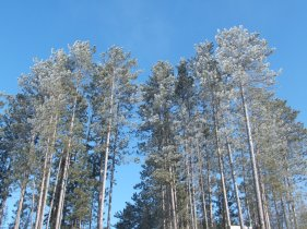 pine trees with frost