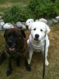 dogs, mastiff, great pyrenees, big dogs