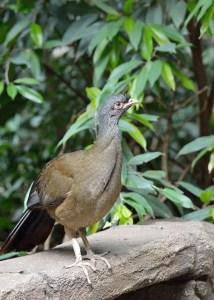 chachacala. Galliformes