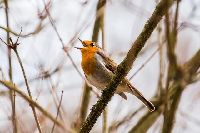 pájaros cantando