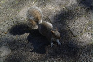 Squirrel @ Cape Town
