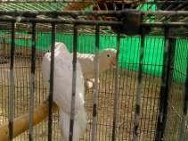 White Parakeets