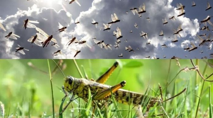 Indian Media claims Pakistan sent trained Locust to Destroy India