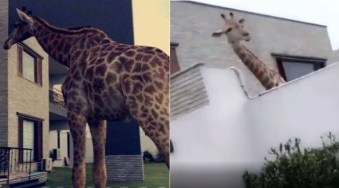A Family in DHA, Karachi actually has a Giraffe at home without proper License