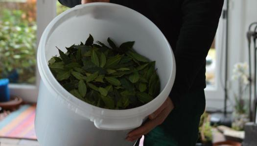 How to dry bay leaves