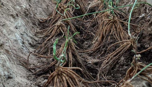 Green asparagus planting guide