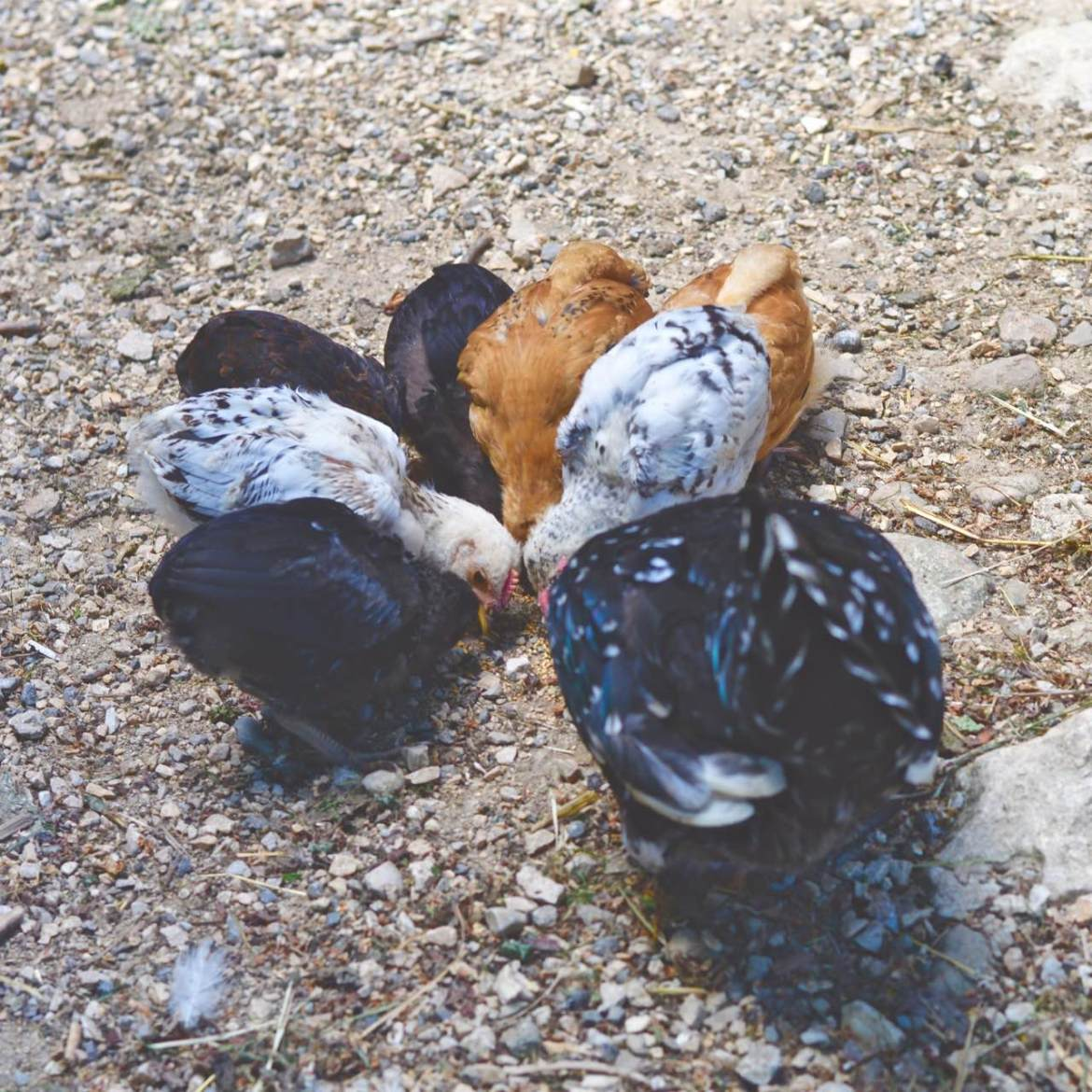 chickens ferme lespinasse plantes sauvage comestible