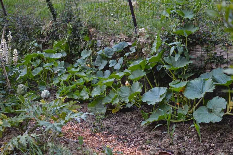pumpkins kitchen garden - pakovska.com