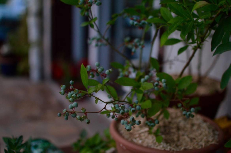 blue berry kitchen garden - pakovska.com