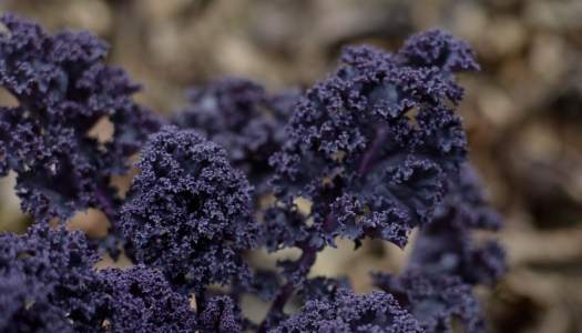 Saving your own seeds from (purple) kale