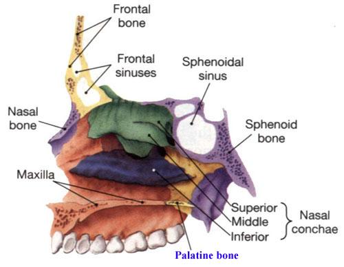 Palatine-Bone-Image