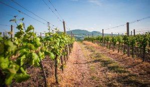 Vinohrady a okolní příroda na Pálavě