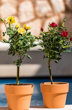 Cara Menanam Bunga Mawar Di Dalam Pot Alicia Florist Palembang