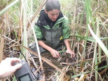 Oregon spotted frog radio telemetry, summer 2010.