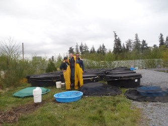 Setting up Oregon spotted frog mesocosms to test differences in behavior between captive bred and wild tadpoles in the presence of a predator