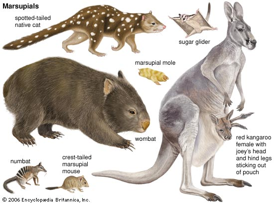 Image result for marsupial