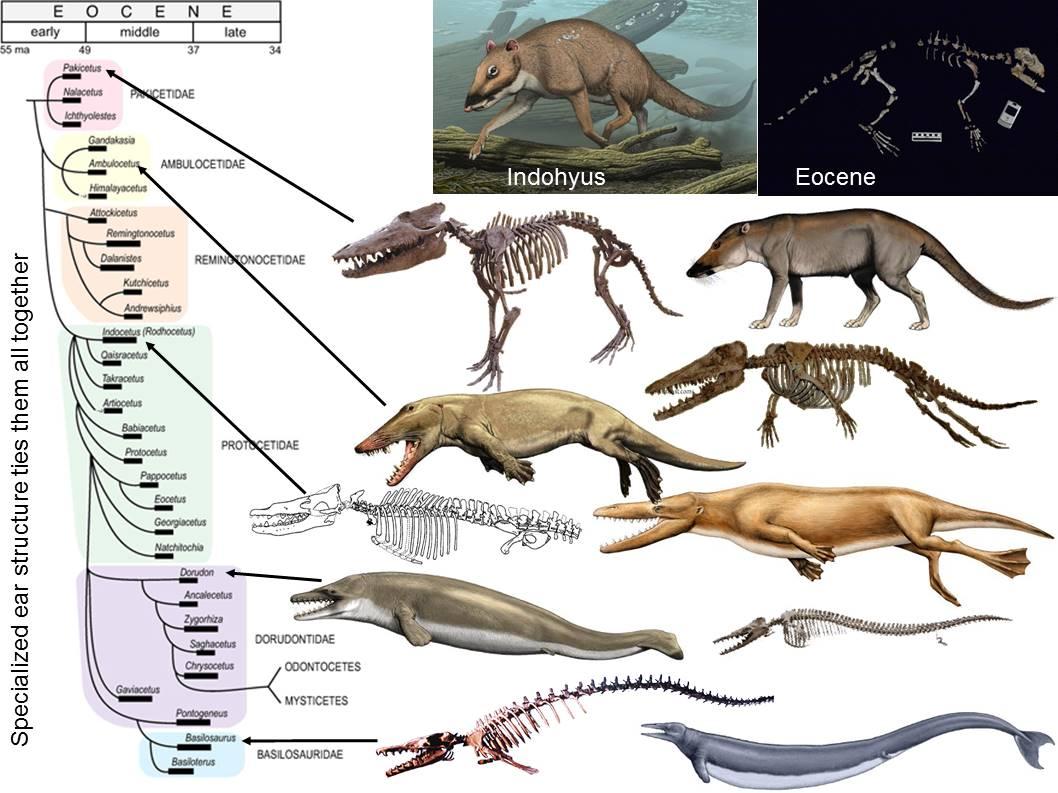 Basilosaurus Paleoaerie