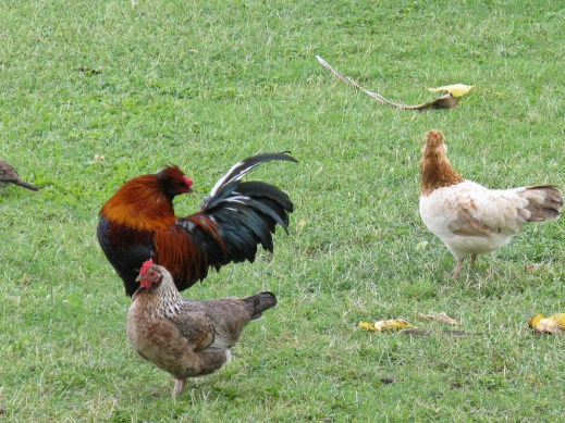 Some free-roaming chickens up on the mainland at Hanauma Bay. There were a ton of them!