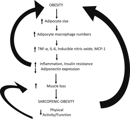 Diagram of sarcopenic obesity