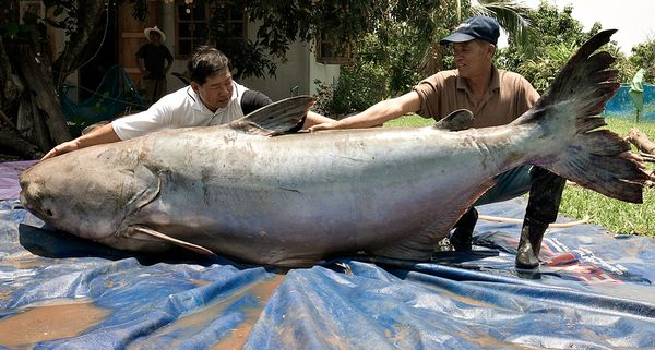 Ikan Lele Terbesar Yang Pernah Ditemukan