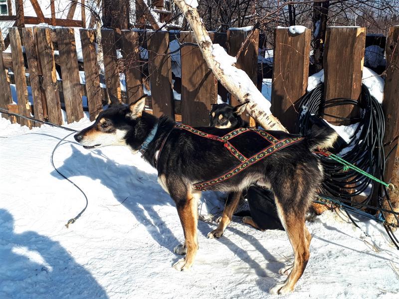 listvyanka dog