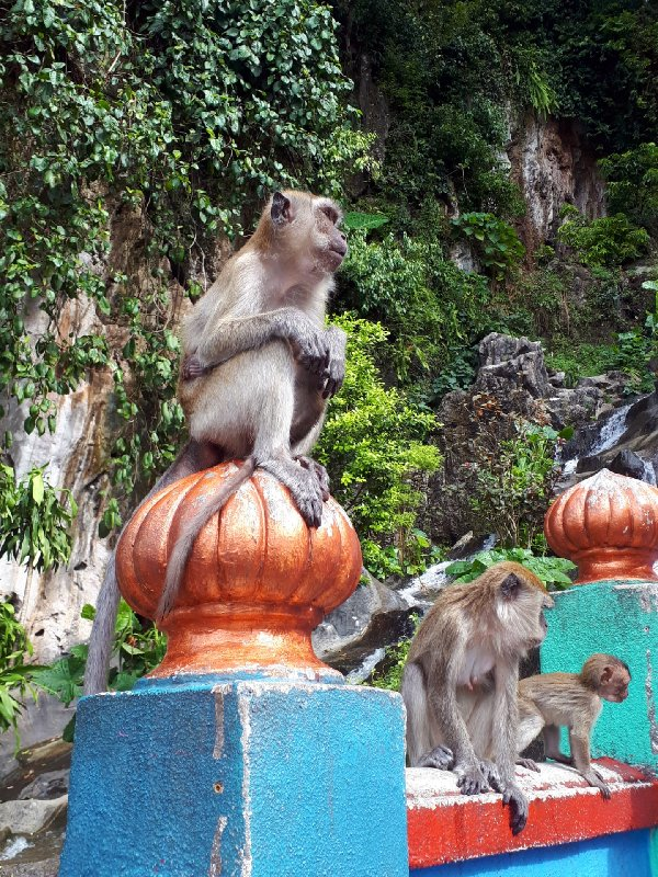 macaques monkeys batu caves