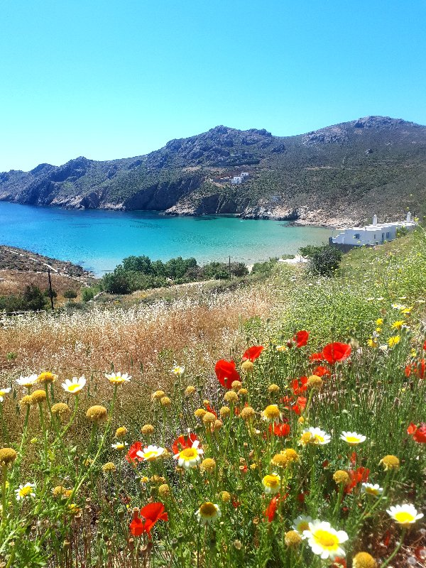 serifos guide psili ammos wildflowers beach