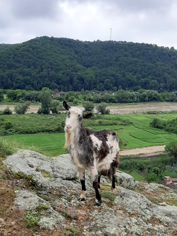 fabulous goat