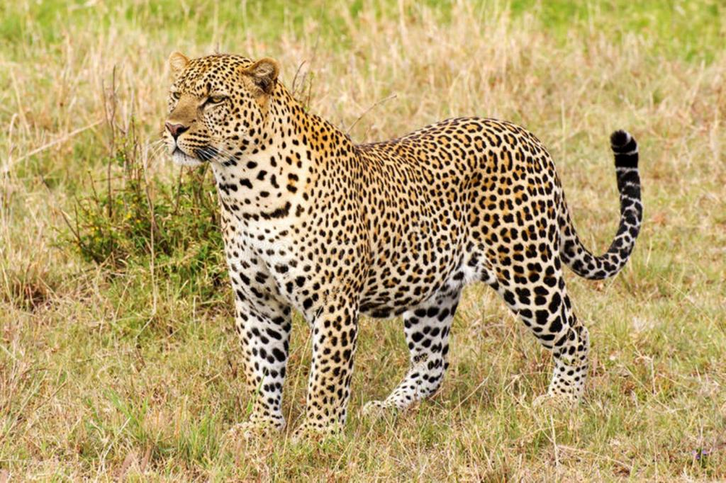 leopard-close-up-side-view