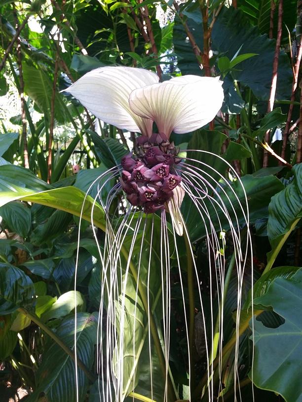 white bat plant flower