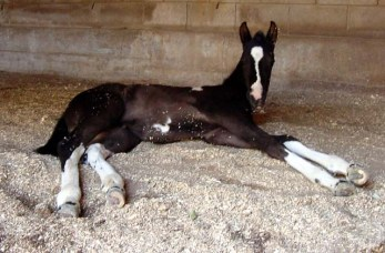 "Pawnee On The Spot aka ""Dot"", black/white filly by Pawnee Brave"