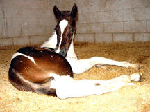 Spirit, chestnut & white colt by Dun Deal