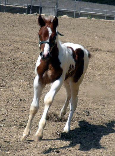 stallion Printcess%2009filly