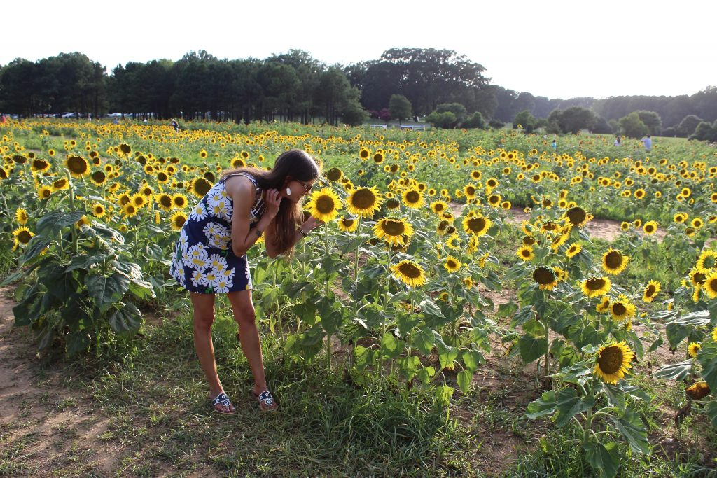 sunflowers at Dorothea Dix Park