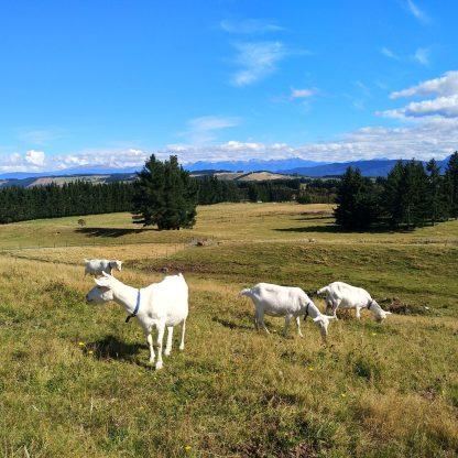 Goats Grazing Videos