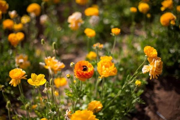 The Flower Fields-2