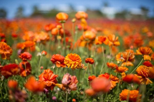 The Flower Fields-3