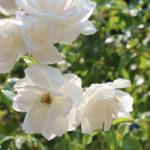 g-roses