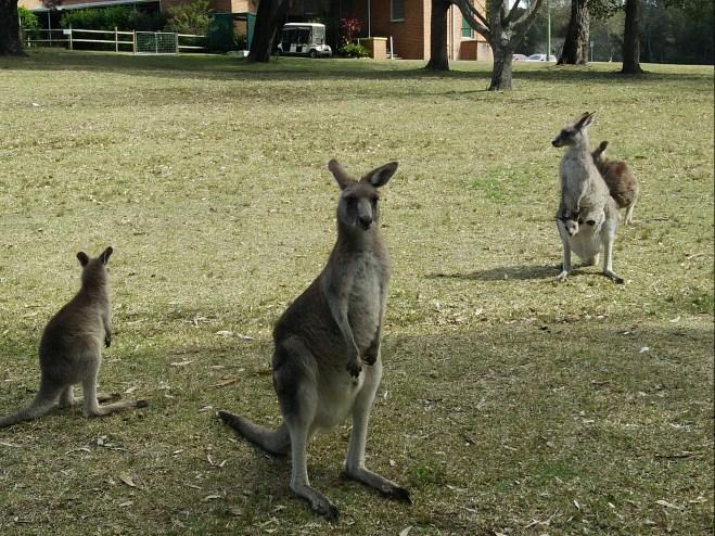 Canguros en Morriset Park