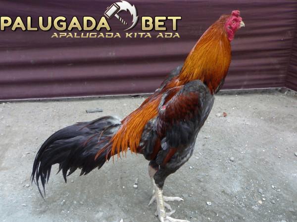 Agen Sabung Ayam - Ciri Fisik Ayam Bangkok Unggul Thailand Yang Oke