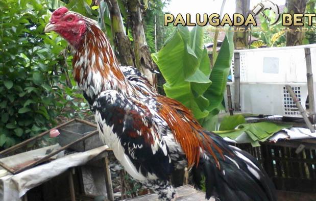 Agen Sabung Ayam - Si Blorok Madu Arjuna, Yang Mematikan